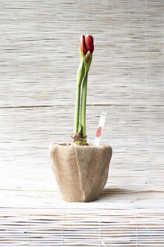 Amaryllis con vaso