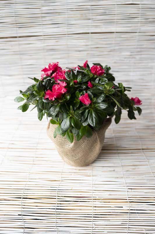 Azalea colori assortiti