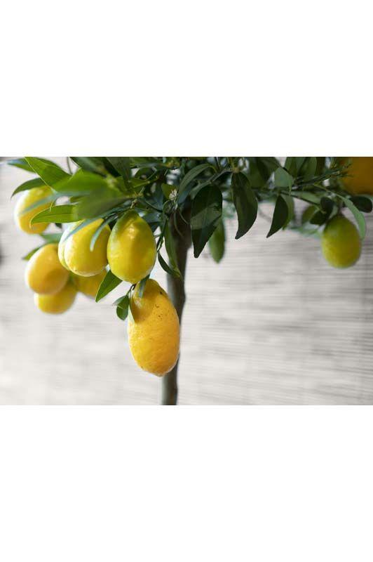 Citrus aurantifolia Limequat