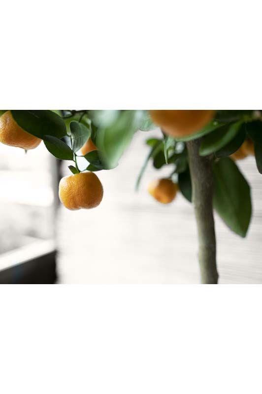 Citrus Mitis Calamondino
