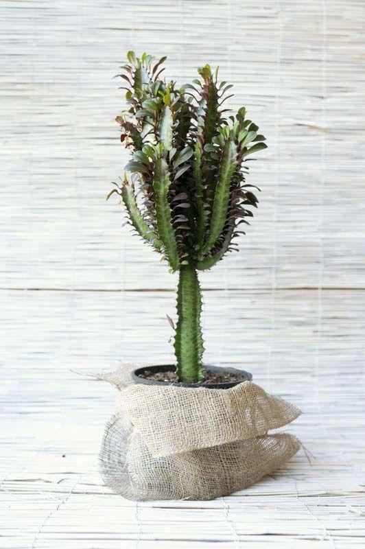 Euphorbia Eritrea Trigona Rubra