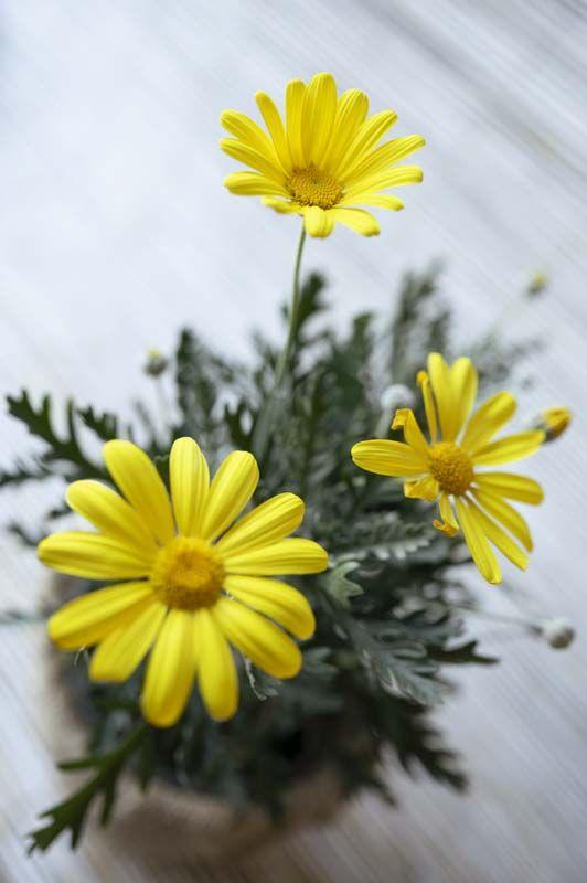 Euryops fiore giallo