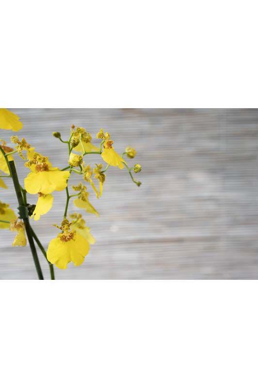 Orchidea Oncidium Colori assortiti