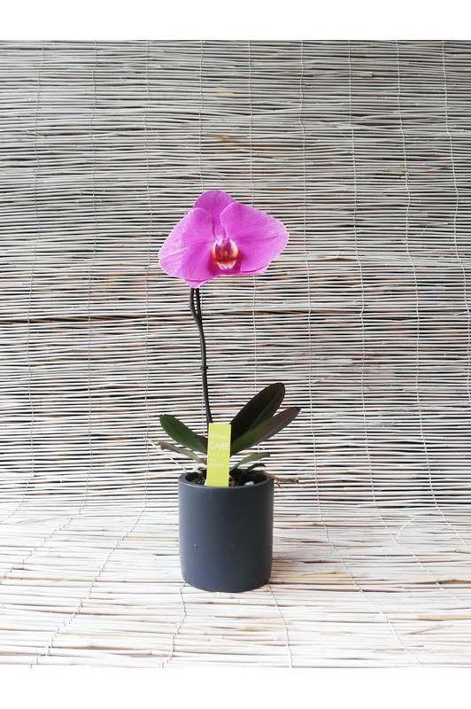 Orchidea Phalaenopsis Fiore Unico Colori assortiti
