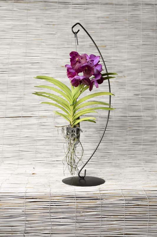 Orchidea Vanda Hybriden Colori assortiti