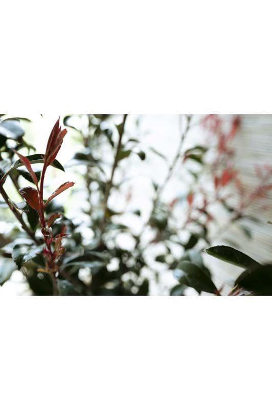 Photinia x fraseri Red Robin Compacta