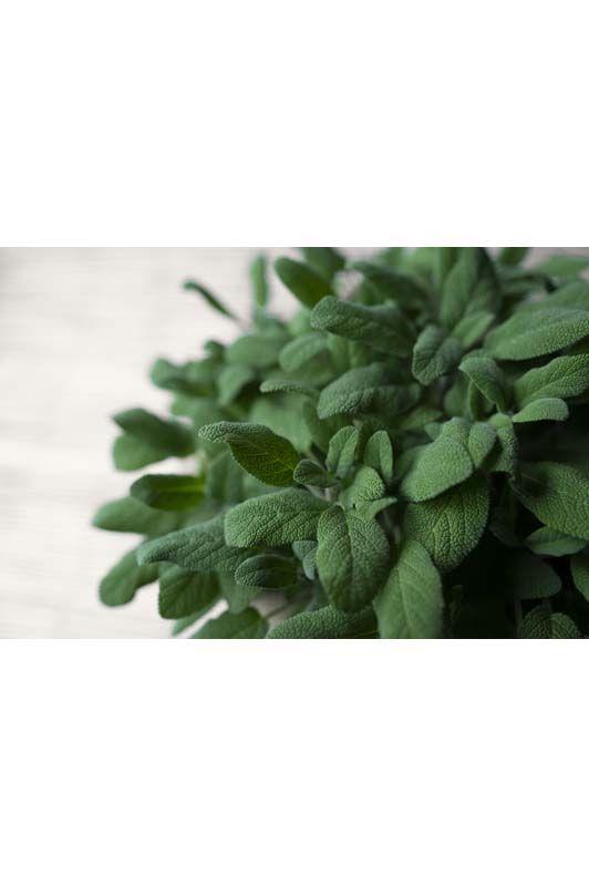 Salvia Grandifolia
