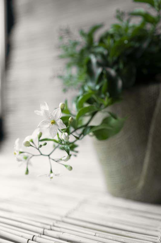 Solanum Jasminoides (Gelsomino notturno)