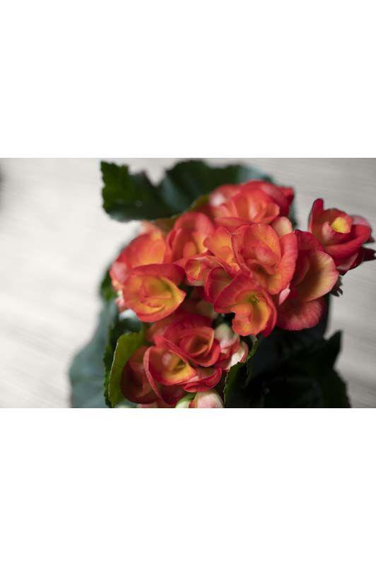 Begonia Eliatior