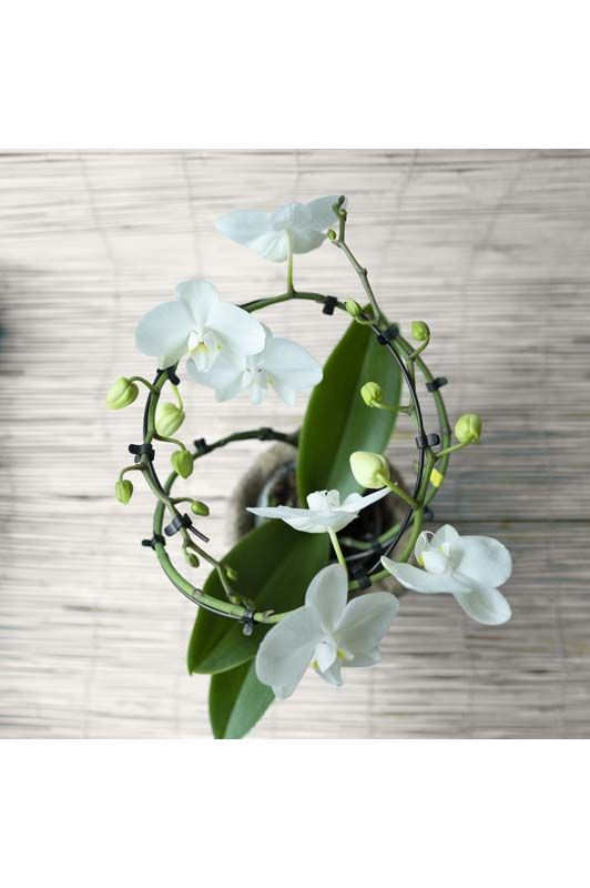 Orchidea phalaenopsis Balletto Bianco